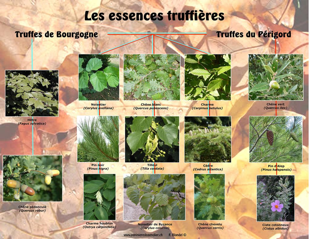 les_essences_truffieres